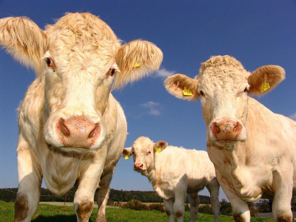 Vacas no vegano