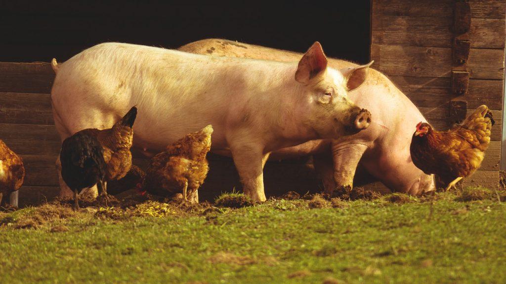 Cerdos y pollos no vegano