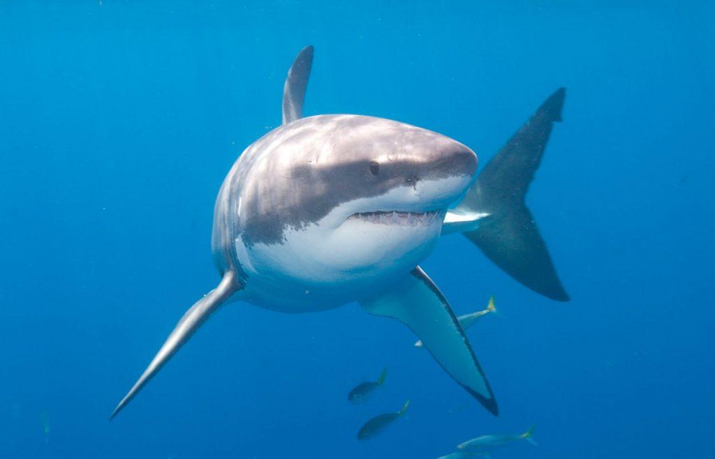 Tiburón no vegano